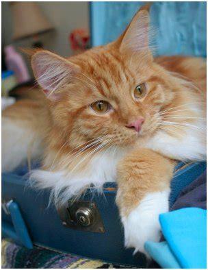Kaos Something Meow maine coon kittens bred by mariama sudbury ontario canada