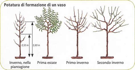 potatura a vaso mandorlo prunus dulcis coltivazione e potatura