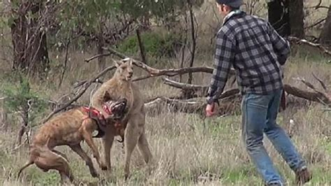kangaroo has in headlock punches kangaroo in what was the roo really thinking