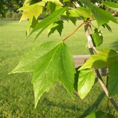 the world 180 s tree species red maple acer rubrum