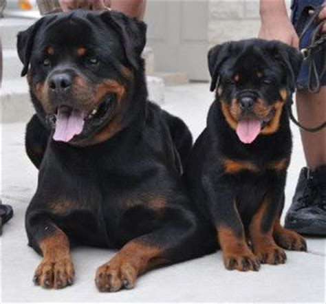 rottweiler puppies for sale in san antonio tx 1000 ideas about rottweiler puppies on rottweilers dogs breeds and dogs