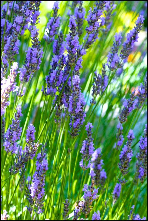 Madika Lavender lavender s medicinal and aromatherapy uses and lavender