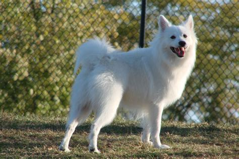 american eskimo puppy for sale american eskimo puppies for sale from reputable breeders