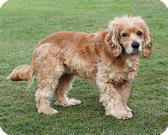 golden retriever rescue santa barbara santa barbara ca cocker spaniel golden retriever mix meet shelly a for adoption