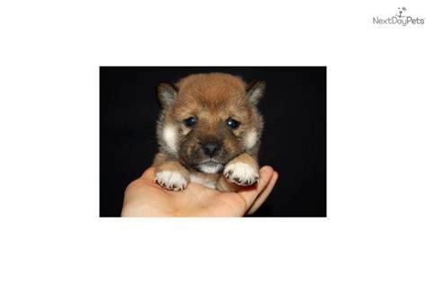 shiba inu puppies for sale in nc shiba inu puppy for sale near winston salem carolina 62349e1a c8d1