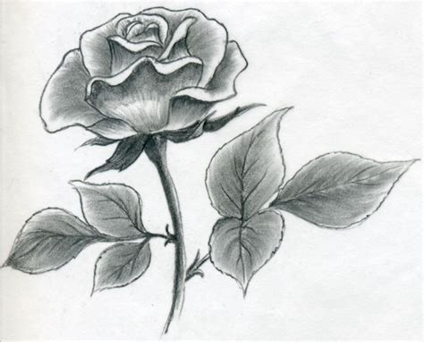 Drawing Roses by Draw A Quickly Simply And Easily
