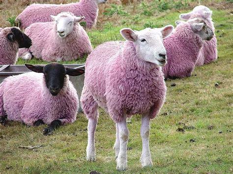 Sheep Pink 911 beste afbeeldingen sheepishly op wol zeldzame rassen en lam
