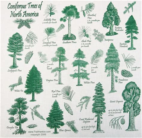 list of trees list of conifer trees search engine at search