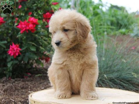 goldendoodle puppy breathing fast 44 best images about doodles on teddy