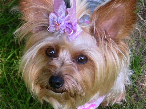 types of yorkie haircuts types of hair cuts for yorkies blackhairstylecuts com