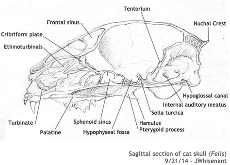 cat sections cat skull diagram pictures to pin on pinterest pinsdaddy