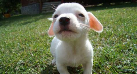 cani da appartamento consigli cani di piccola taglia da compagnia ecco quale scegliere
