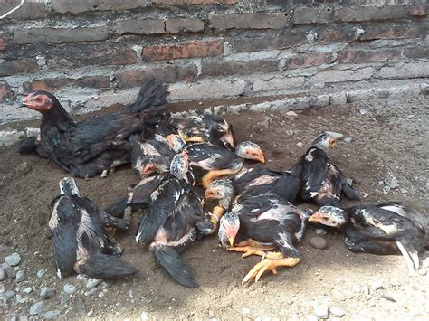 Bibit Ayam Bangkok Yang Bagus cara memilih induk ayam bangkok yang bagus