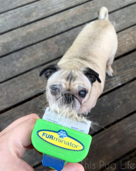 pug hair shedding reduce shedding from the inside out this pug