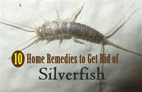 how do i get rid of silverfish in my bathroom 10 effective home remedies for getting rid of silverfish