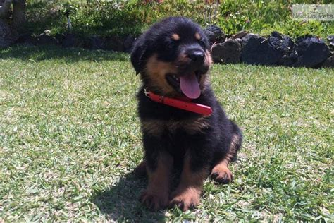 rottweiler dogs for sale near me vaccines near me