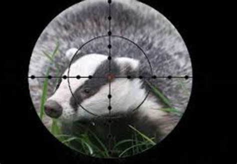 badger cull petition petition stop the uk badger cull
