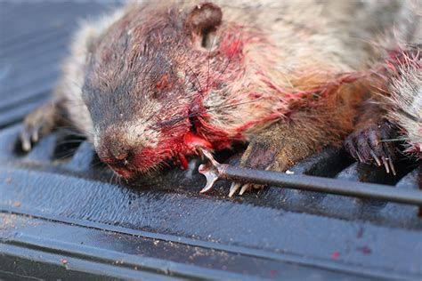 bowhunting groundhogs on with g5 sgh broadheads