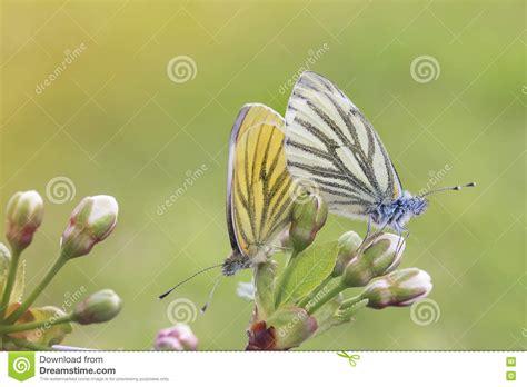 imagenes de dos mariposas juntas dos mariposas en blanco y amarillo se sientan juntas en