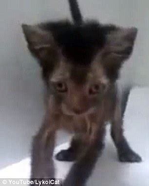 Lykoi cat skitters around delightfully as it plays a game