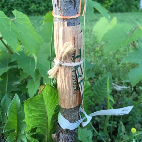 Safeguard Fruit safeguard fruit trees with tanglefoot essex on lake
