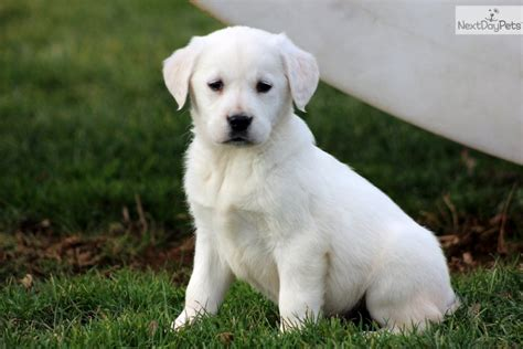 goldador puppies goldador puppy for sale near lancaster pennsylvania d25278e8 0031