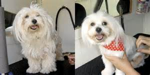 matted maltese