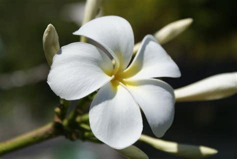 frangipane fiore fiore frangipane viaggi vacanze e turismo turisti