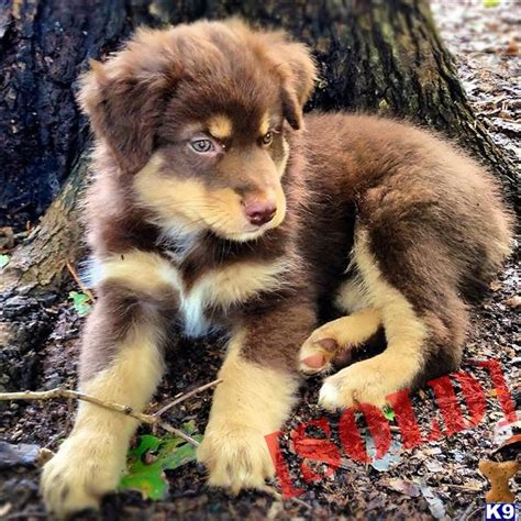 australian shepherd puppies nc free document moved