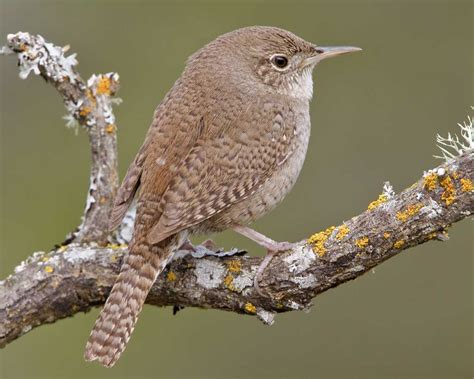 Forest House by House Wren Audubon Field Guide