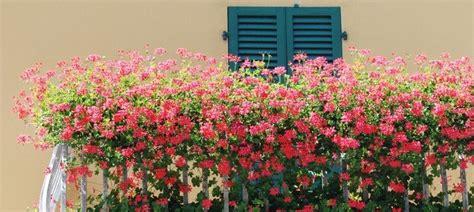 fiori sul terrazzo gerani rigogliosi sul balcone cose di casa