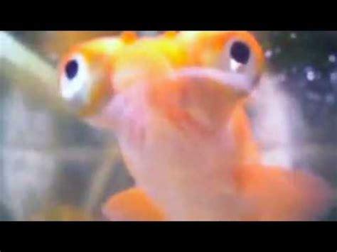 google images fish the google eyed fish youtube