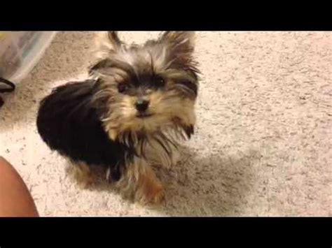 world s smartest yorkie worlds smartest cutest puppy misa minnie 31 wks funnydog tv
