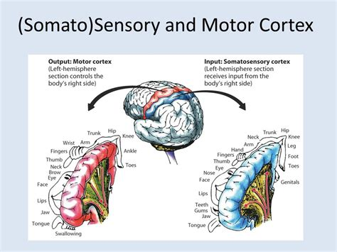 right motor cortex damage major brain structures and functions ppt
