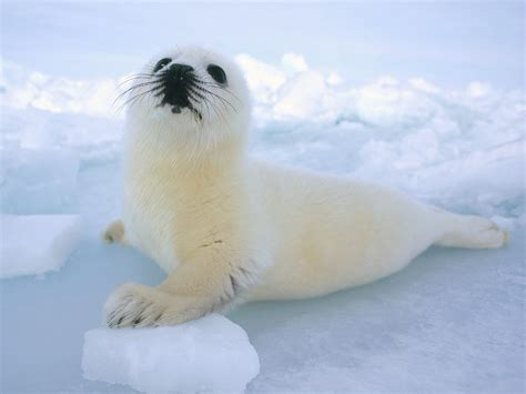 the sea l harp seal