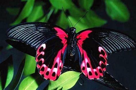 gambar kupu kupu cantik  indah terbaru gambarcoloring