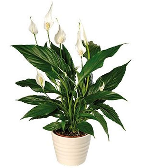 common house plants for funerals house plant peace i one of these from my