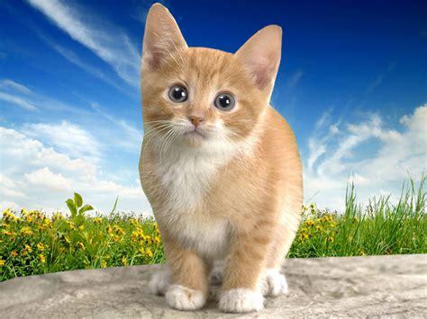 wallpaper of cat download wallpapers download cat desktop wallpapers
