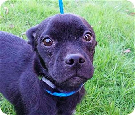 pugs for adoption ny new york ny dachshund pug mix meet hibiscus a for adoption