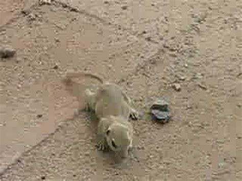 backyard rodents vermin in my backyard prairie dog ground squirrel rodent youtube