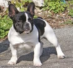 pugs and boston terriers boston terriers vs bulldogs breeds picture