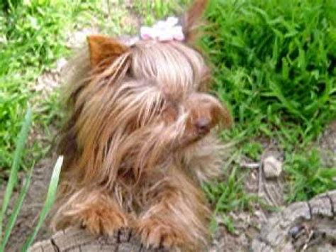 the smallest yorkie in the world tinker bell the smallest chocolate yorkie in the world