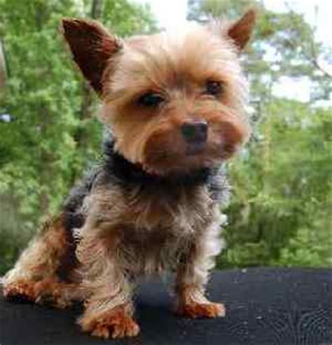 are yorkies for allergy sufferers image gallery non allergic dogs