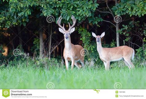 large buck large whitetail buck and doe stock image image 7991965