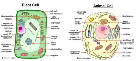 plant cell diagram and functions difference between animal cell and plant cell in diagram
