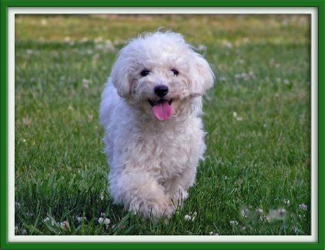 shih tzu bichon haircuts shih tzu bichon mix grown
