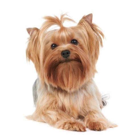 silky haired yorkie dogs that do not shed