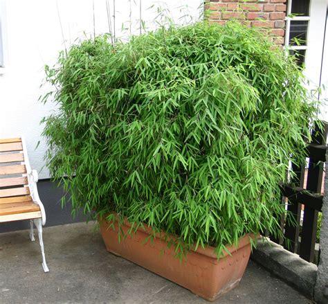 Bambus Im Balkonkasten by Bambus Pflanzenshop Bambus Als K 252 Belpflanze Auswahl Und