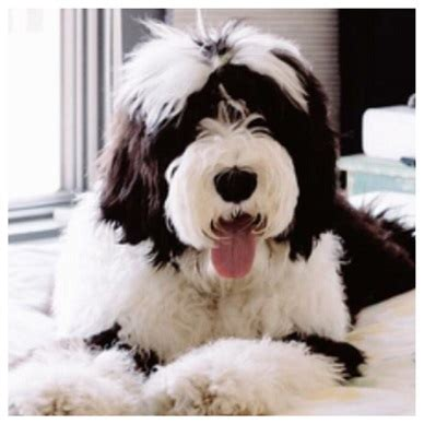 mini sheepadoodle puppies for sale sheepadoodle puppies sheepadoodles sheepadoodle dogs