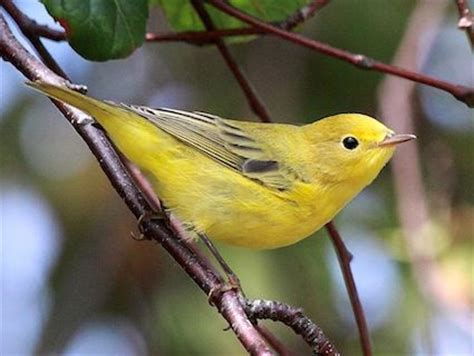 yellow warbler feathers pinterest
